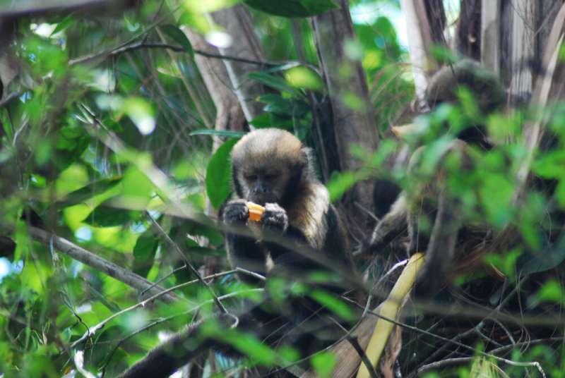 Poaching affects behavior of endangered capuchin monkeys in Brazilian biological reserve