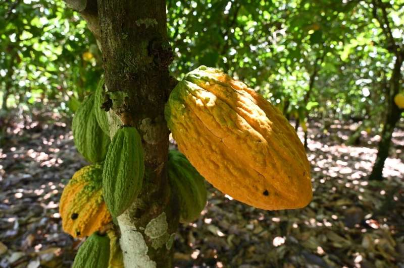 Pod cast: Ivory Coast is the biggest producer of cacao, the raw ingredient for cocoa. But many farmers are impoverished—beekeepi