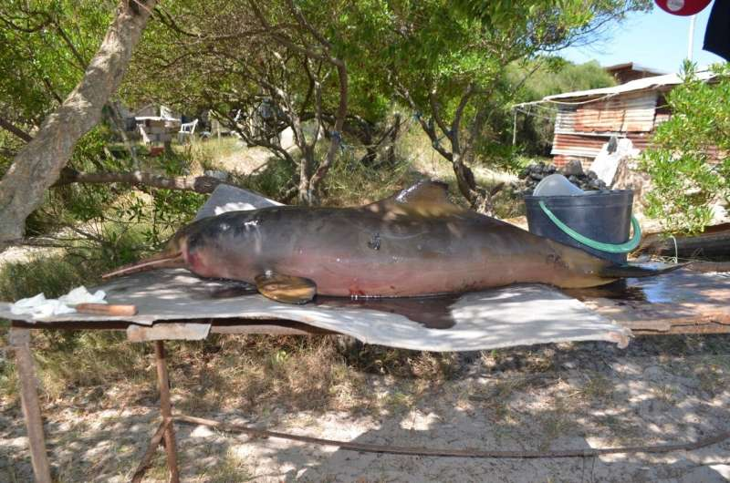 Pollutant concentration increases in the franciscana dolphin