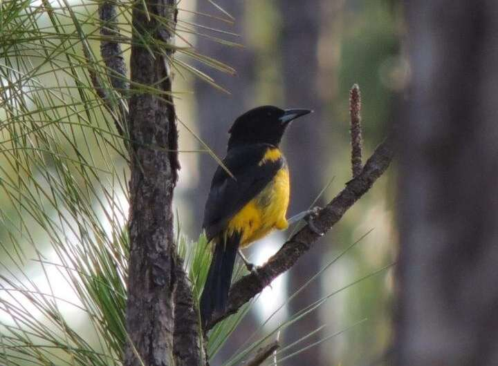 Population of critically endangered Bahama Oriole is much larger than previously thought