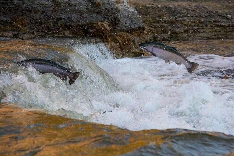 Prehistoric Pacific Coast diets had salmon limits