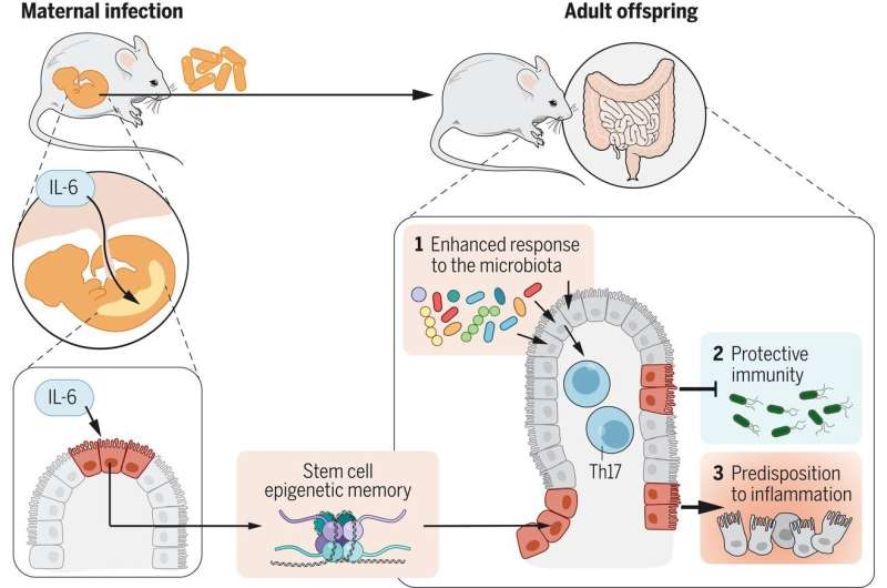 Prenatal maternal infections promote tissue-specific immunity and inflammation in mice offspring
