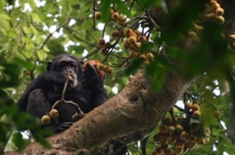 Primate ecology and evolution shaped by two most consumed plant families