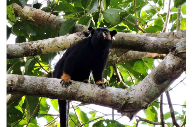 Primates change their 'accent' to avoid conflict