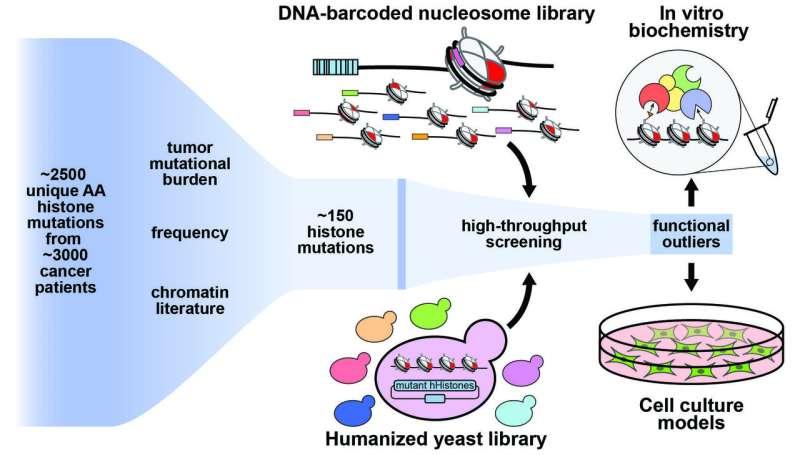Princeton lab profiles histone mutational landscape of human cancers