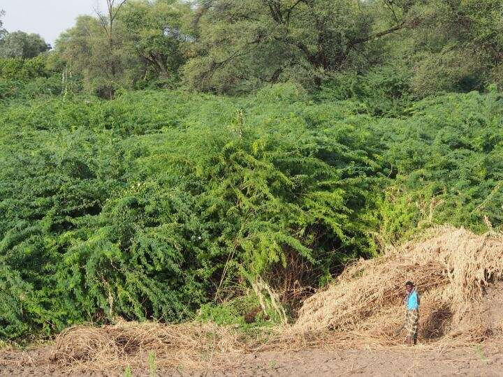 Prosopis juliflora acutely reduces water resources in Ethiopia, costing rural livelihoods