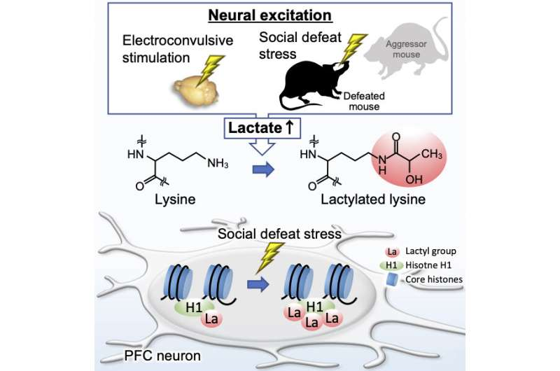 Protein lactylation, a novel post-translational modification, is induced in the brain by neural activation and social stress
