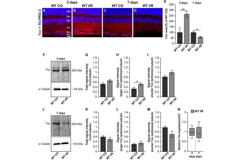 Protein tenascin-C important in retinal blood flow disorders