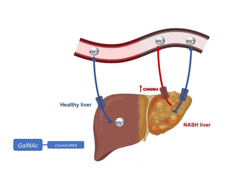Protein controlling magnesium identified as therapeutic target for non-alcoholic fatty liver disease