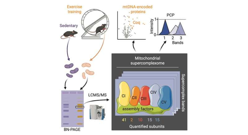 Proteomics reveals how exercise increases the efficiency of muscle energy production