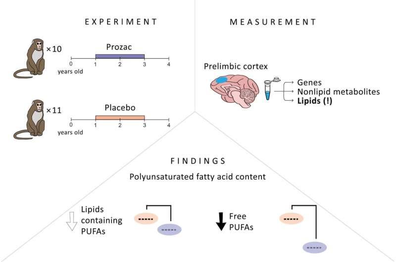 Prozac changes fat composition of the monkey brain