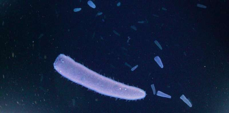 Pyrosomes: Enigmatic marine inhabitants with an important role in the Cabo Verde ecosystem
