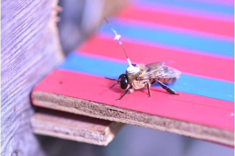 El rastreo por radar revela el misterio de dónde tienen sexo los drones de abejas