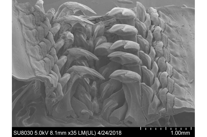 Rare mineral from rocks found in mollusk teeth