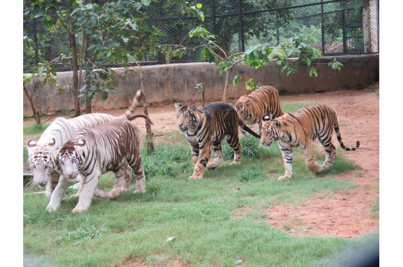 Rare phenotype in isolated tiger population explains dark wide stripes