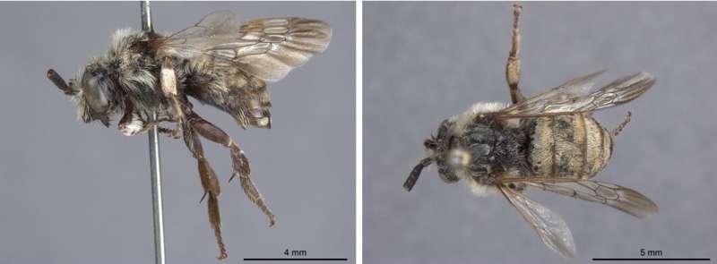 El género de abejas más raro en América del Norte no es tan raro después de todo