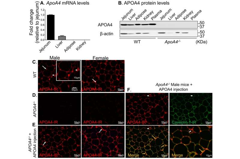 Receptor protein in adipose tissue plays a role in controlling blood sugar levels