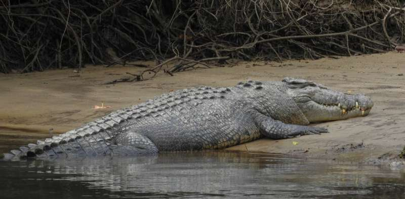 Reckoning with an animal that sees us as prey — living and working in crocodile country