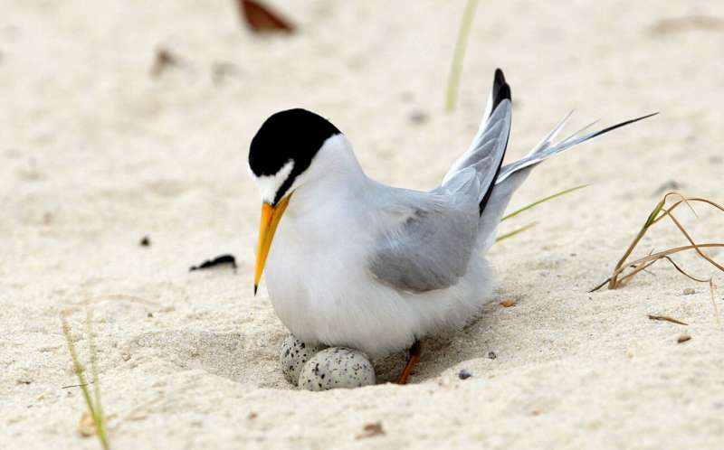 Recovered Midwestern bird soars off endangered species list