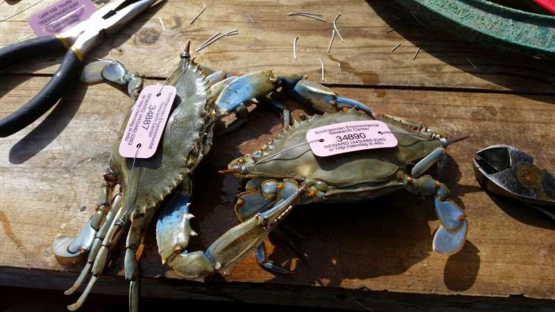 Recreational blue crab harvest in Maryland higher than current estimates