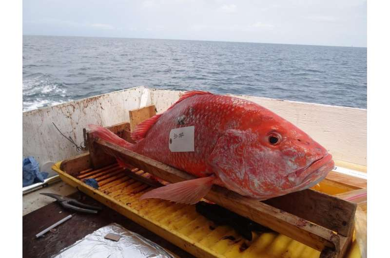 Red Snapper in the Gulf show signs of stress