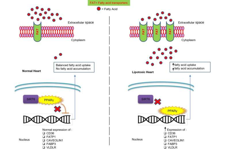 Regulating fatty acid uptake in cardiac muscle cells: A new insight