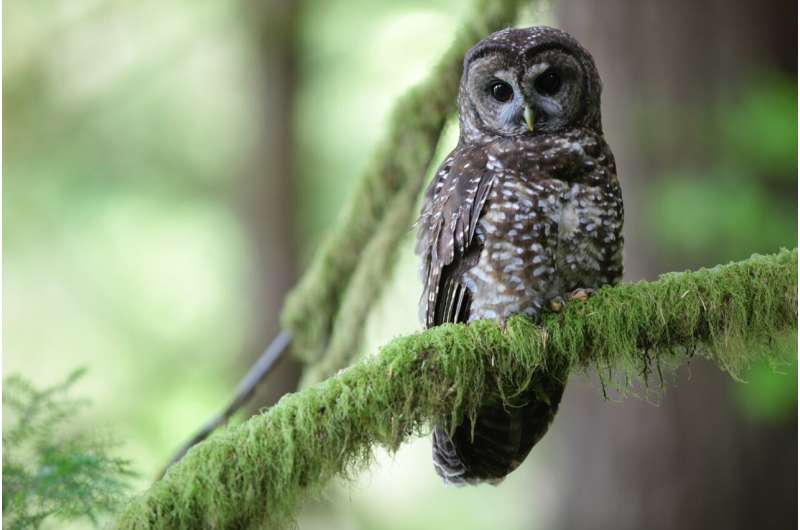 Removal of barred owls slows decline of iconic spotted owls in Pacific Northwest, study finds