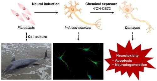 Reprogrammed whale neurons predict neurotoxicity of environmental pollutants