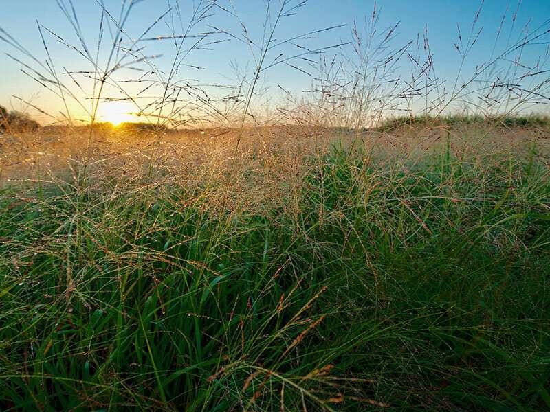 La investigación mejora la comprensión del pasto varilla, un importante cultivo bioenergético