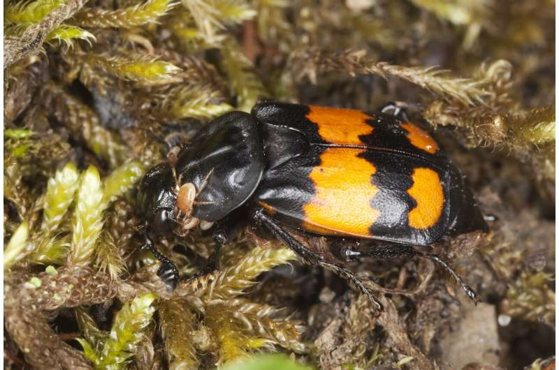 Research shows how carrion beetles turn death into life