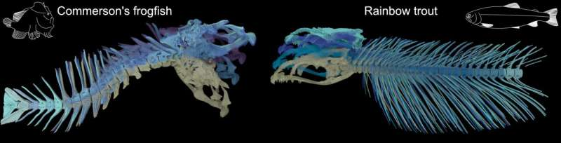 Researcher discovers 'neck-like' vertebral motion in fish