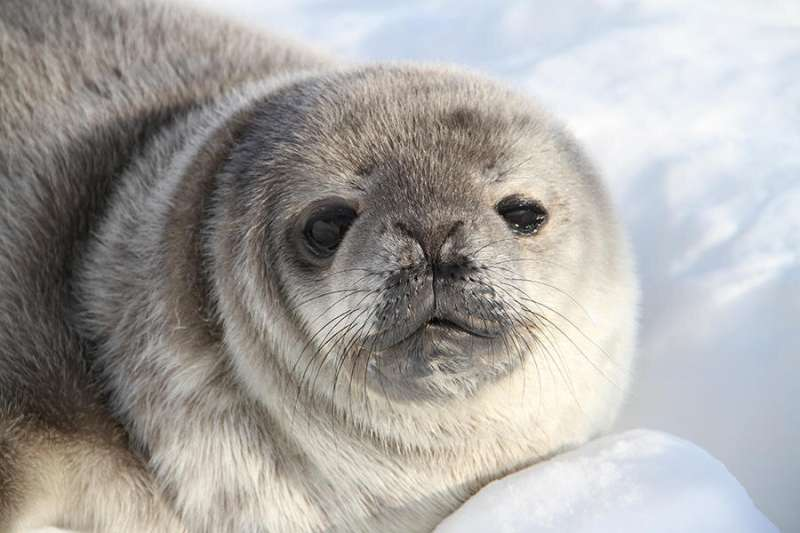 Researchers and citizen scientists complete first-ever Weddell seal count