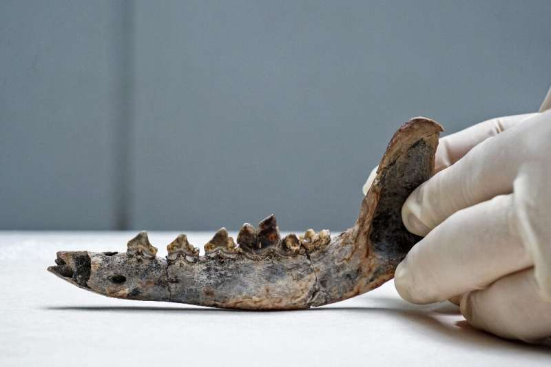 Researchers believe this fossil of a jaw bone found in Costa Rica belongs to a dog that lived 12,000 years ago