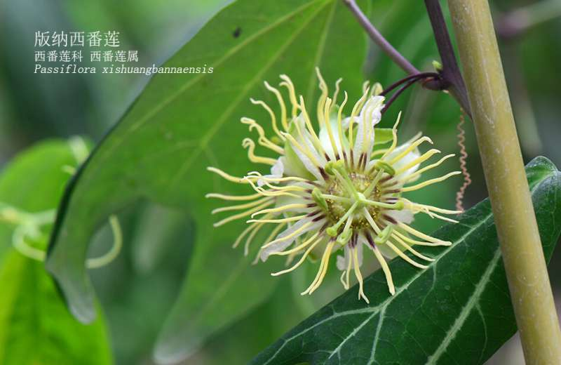 Researchers conduct first tissue culture study using Xishuangbanna passion flower