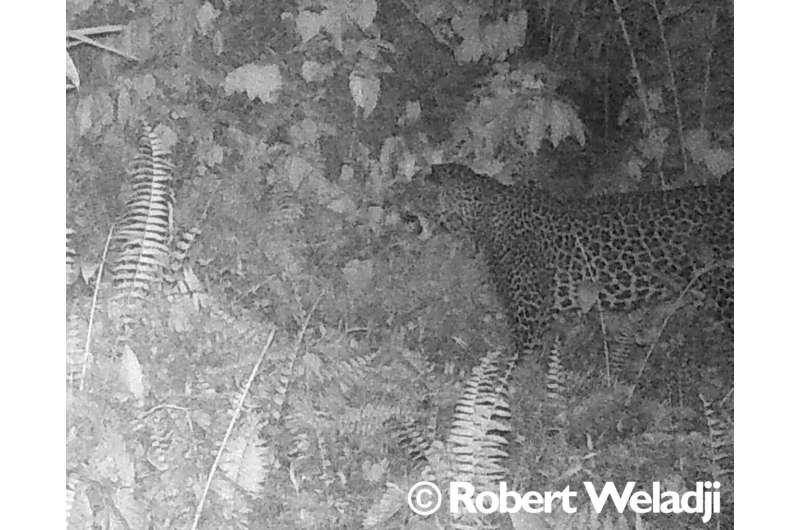 Researchers confirm the presence of the African leopard in southwestern Cameroon