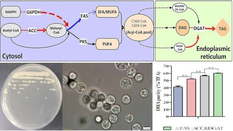 Researchers develop cell factory to produce high-purity DHA