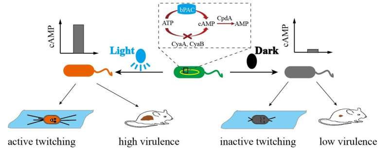 Researchers develop engineered strain to optically control bacteria's movement behavior