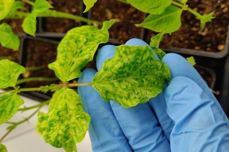 Researchers discover how cowpea mosaic plant virus activates immune system against cancer