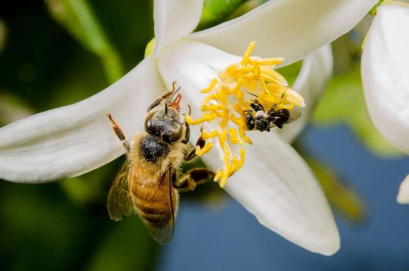 Researchers discover origin of rare, healthy sugar in stingless bee honey