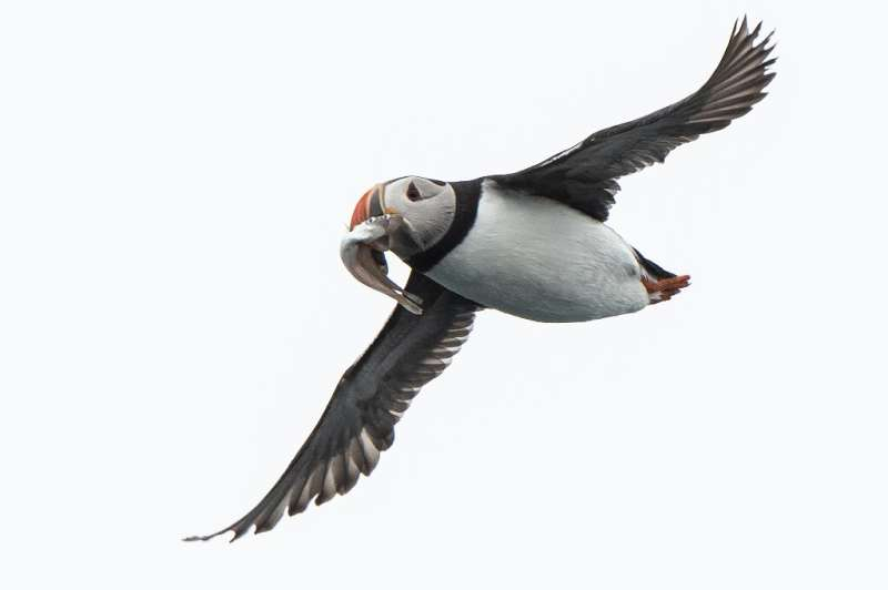 Researchers equipped more than 1,500 puffins, auks, seagulls and two types of guillemots with global location sensors
