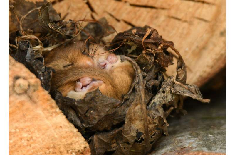 Researchers have devised a new sampling method for the elusive hazel dormouse