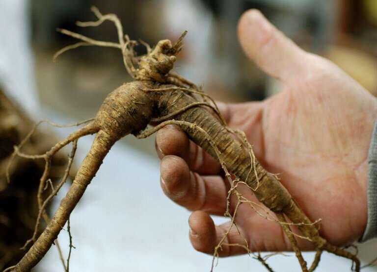 Los investigadores ayudan a rastrear el crecimiento de la agricultura forestal de ginseng en Pensilvania