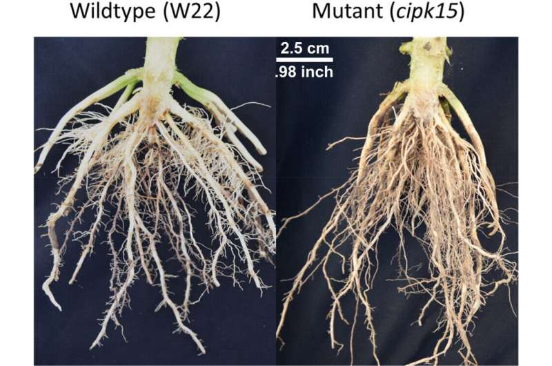 Researchers identify a gene that regulates the angle of root growth in corn