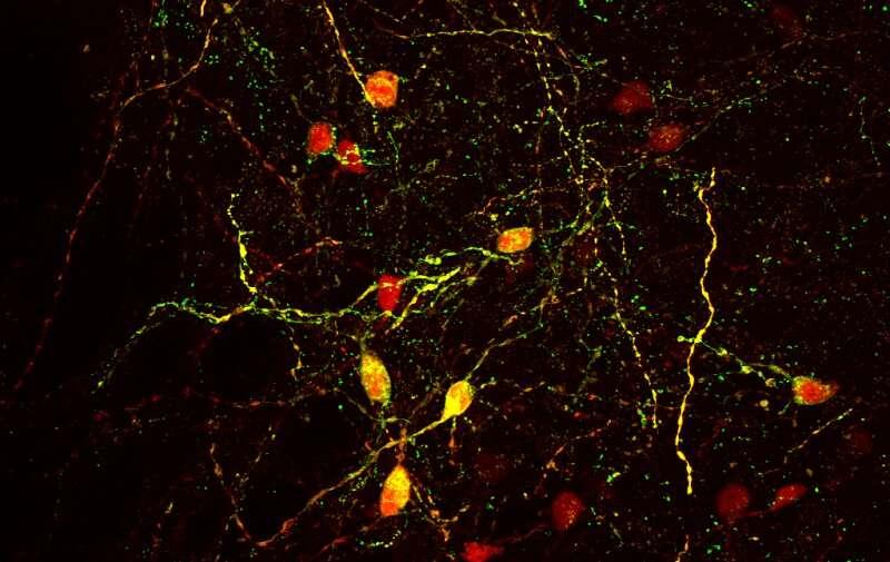 Researchers identify key brain circuit regulating cocaine addiction, relapse