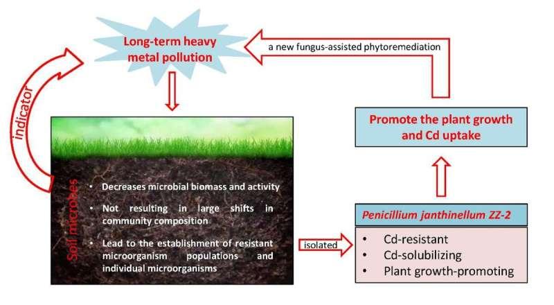 Researchers identify microorganism that remediates cadmium-contaminated soil