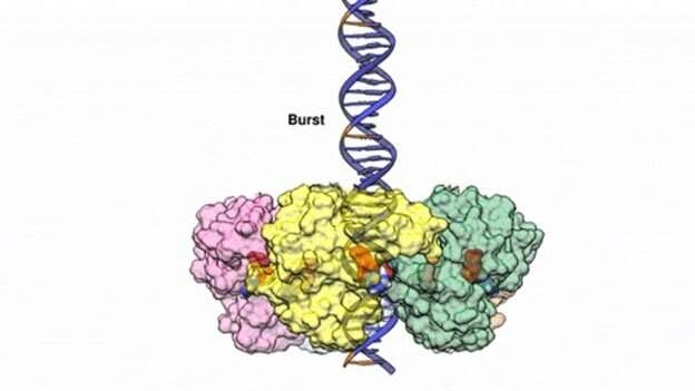 Researchers reveal the inner workings of a viral DNA-packaging motor