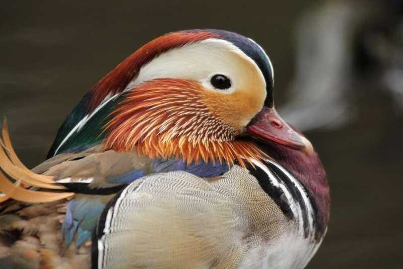 Los investigadores muestran la transmisibilidad del virus de la gripe aviar en especies de aves silvestres