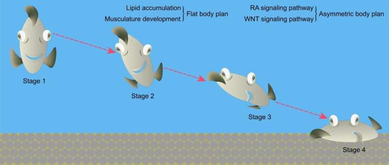 Researchers solve puzzle of origin and formation of specialized body plan in flatfishes
