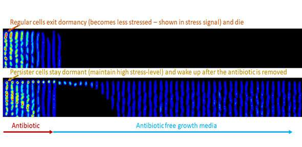 """Researchers unlock behaviour of rare cells that evade antibiotics by """"playing dead"""""""