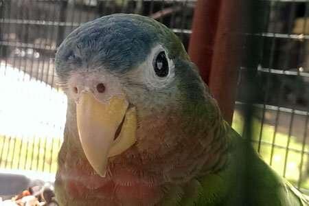 Researchers use genetics to help threatened Amazon parrots